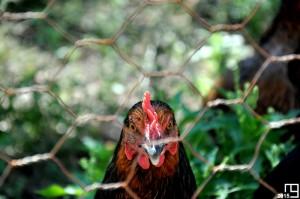 The Chicken Look